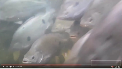 Click to view video Jade Perch Hatchery to Plate in 3 min
