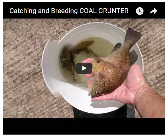 coal grunter video